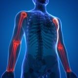 人体骨头关节痛有半径和尺骨的解剖学肱骨 向量例证