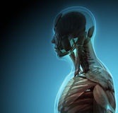 人体(器官)由在蓝色背景的X-射线 向量例证