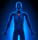 成象-男性器官-胸腺 库存图片