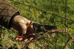 人修剪黑莓藤茎 库存图片