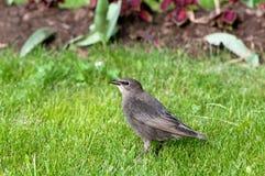 年轻人共同的椋鸟(寻常的八哥类)在春天绿草 免版税库存照片