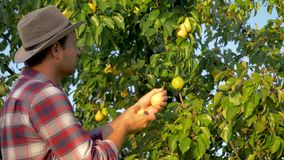 人农夫收获从一棵树的成熟梨在夏天在庭院里在日落 股票录像