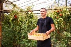 年轻人农夫运载的蕃茄在木箱的手上自温室 小农业事务 免版税库存图片