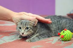 人冲程一只美丽的灰色小猫 库存照片