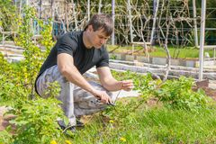 人切除了在复盆子灌木丛的干燥枝杈在他们的夏天村庄 免版税图库摄影