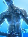 人力光芒脊椎x 向量例证