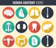 人力内脏 解剖学集合 向量 库存照片