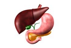 人力肝脏和胃 库存图片