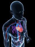 人力脉管系统 免版税库存照片