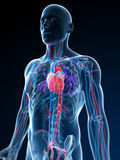 人力脉管系统 免版税图库摄影