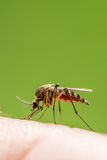 人力蚊子皮肤 免版税库存照片