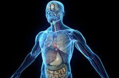 人力解剖学 向量例证