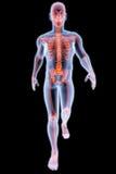 人力X-射线 库存例证