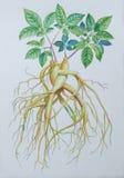 绘人参和绿色叶子的原始的现实草本水彩 免版税库存照片