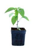 年轻人发芽在被隔绝的花盆的幼木胡椒 免版税图库摄影