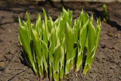 年轻人发芽玉簪属植物 库存图片