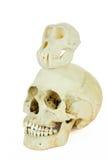 人和猿的头骨在彼此顶部 免版税库存照片