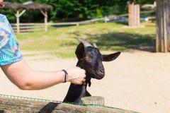 人和羊羔或者山羊在农场 库存照片