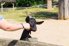 人和羊羔或者山羊在农场 免版税图库摄影