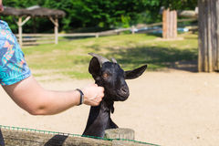 人和羊羔或者山羊在农场 免版税库存照片