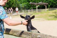 人和羊羔或者山羊在农场 库存图片