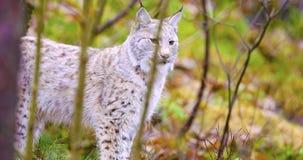 年轻人和playfull站立在森林里的天猫座猫 免版税库存照片