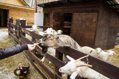 人哺养的绵羊在小牧场 库存图片