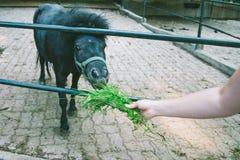 人哺养的小马 库存图片