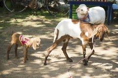 人哺养的食物的山羊农场和使用在Bueng Boraphet 免版税库存图片