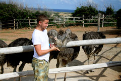 人哺养的驼鸟 免版税库存照片