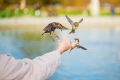人哺养的麻雀和椋鸟 库存照片