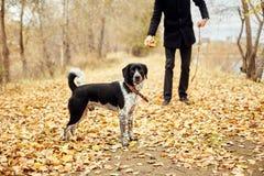 人在与一个狗西班牙猎狗的秋天走与长的耳朵在秋天公园 狗喜跳和戏剧在自然在秋天染黄叶片 库存照片