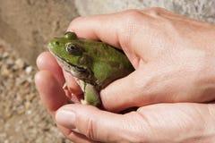 人在他的手上的拿着一只青蛙 图库摄影