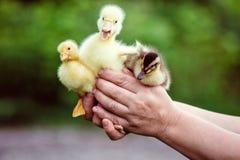 人在他的手上拿着一只鹅和两只鸭子 免版税库存照片