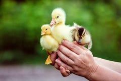 人在他的手上拿着一只鹅和两只鸭子 库存照片
