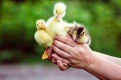 人在他的手上拿着一只鹅和两只鸭子 免版税图库摄影