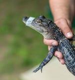 人在他的手上拿着小鳄鱼 免版税库存图片