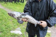 人在他的手上拿着新近地被抓的鱼 库存照片