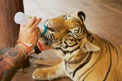 人在Saiyok,泰国喂养印度支那的老虎用从一个瓶的牛奶 库存照片