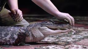 人对鳄鱼张嘴 r 有魅力者张他的嘴鳄鱼的特写镜头不是在黑色的大鳄鱼 影视素材