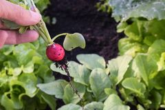 人工收割在绿色植物之间的一个新鲜的萝卜o的 库存照片