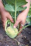人工收割生物菜的农夫 免版税图库摄影