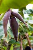 人工收割的香蕉开花 库存照片