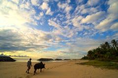 人带来了走在海滩的黄牛 免版税库存图片