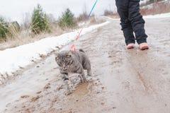 人带领在皮带的一只猫 免版税图库摄影