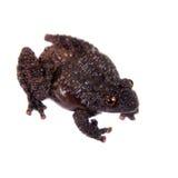 令人恐惧的生苔青蛙, Theloderma horridum,在白色 免版税库存图片