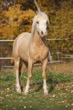 令人惊讶的威尔士山小马公马在秋天 库存图片