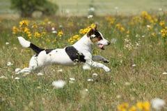令人惊讶的杰克罗素狗赛跑和跳跃 库存图片