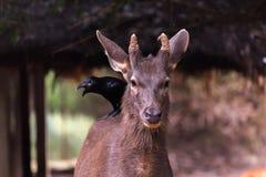 令人惊讶的被察觉的鹿 库存照片