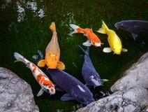 令人惊讶的Koi鱼池在今池,日本 图库摄影